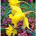 Three Daffodils by Anna Willard