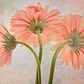 Three Daisies by David and Carol Kelly
