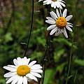 Three Daisies by Tikvah's Hope