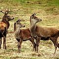 Wildlife Three Red Deer by Linsey Williams