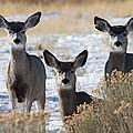 Three Deer by Max Waugh