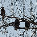 Three Eagles In Tree by Terri Morris