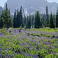 105417-three Fingered Jack And Wildflowers by Ed  Cooper Photography