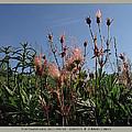 three flowered avens - Geum triflorum - 12MA30-1 by Robert G Mears