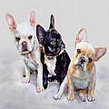 Three Frenchie Puppies by Jane Schnetlage