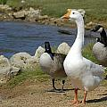 Three Geese Just Srolling Along by Charles Beeler