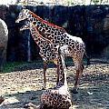 Three Giraffes by Matt Johnson