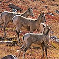Three Goats  by Mitch Johanson