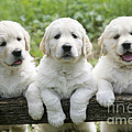 Three Golden Retriever Puppies by John Daniels