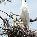 Three Great Egret Chicks In Nest by Carol Groenen