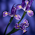 Three Iris Xiphium by Kirk Ellison