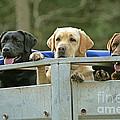 Three Kinds Of Labradors by Jean-Michel Labat
