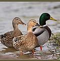 Three Mallards Card - Ducks by Travis Truelove