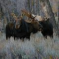 Three Moose In The Woods by Jeff Swan