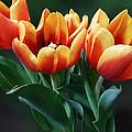 Three Orange And Red Tulips by Susan Savad
