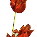 Three Orange Red Tulips by Linda Matlow