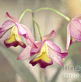 Three Orchid Beauties by Sabrina L Ryan