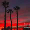 Three Palm Sunset by Robert Bales