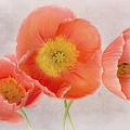 Three Peach Poppies by David and Carol Kelly