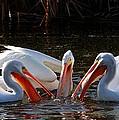 Three Pelicans And A Fish by Elizabeth Winter