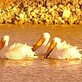 Three Pelicans Fishing by Jeff Swan