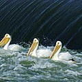 Three Pelicans Hanging Out  by Jeff Swan