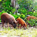 Three Pigs by Seven Seas