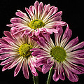 Three Pink Flowers by Martin Belan