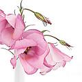Three Pink Lisianthus Flowers by Ann Garrett