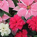 Three Pink Poinsettias by The Art of Alice Terrill