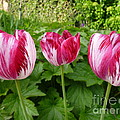Three Pink Rembrandt Tulips by Lingfai Leung
