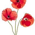 Three Poppy Flowers by Elena Elisseeva