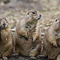 Three Prairie Ground Squirrels by Chad Coombs