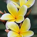 Three Pretty Plumeria Flowers by Sabrina L Ryan