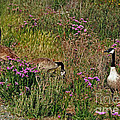 Three Quiet Canada Geese by Susan Wiedmann