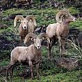 Three Rams by Steve McKinzie