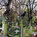 Three Ravens by Gia Marie Houck