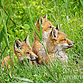 Three Red Fox Pups by Timothy Flanigan