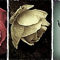 Three Roses by Patricia Strand