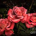 Three Roses by Robert Bales