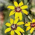 Three Sister Wildflowers by Georgianne Giese