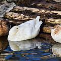 Three Sleeping Ducks by Susie Peek