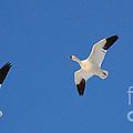 Three Snow Geese by Tarea Roach-Pritchett