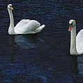 Three Swans by Bob Coates