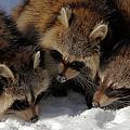 Three Sweet Raccoons by Doris Potter