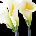 Three Tall Calla Lilies by Mary Deal