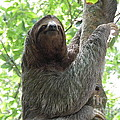 Three Toed Sloth  by DejaVu Designs