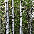 Three Trees by Angie Schutt