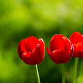 Three Tulips by Alexander Senin
