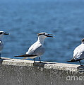 Three Turning Terns by Carol Groenen